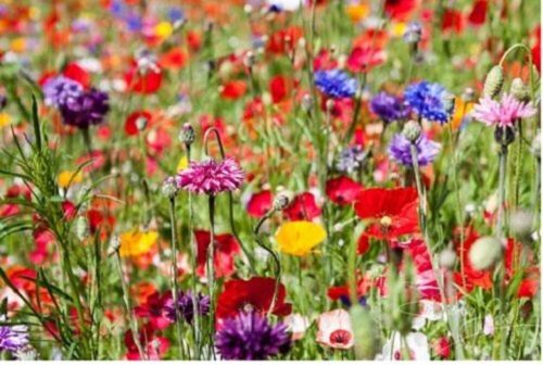 25g WILD FLOWER MEADOW SEEDS Wild Scented Bee Mixed Meadow NO GRASS Mix 149 <br/> Buy 2 get 2 Free Best value on EBAY !! See pics of seed