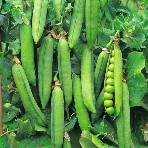 Vegetable - Pea - Onward Early - 200 Seeds - High Yield - First Class Postage