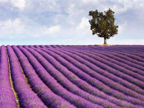 LAVENDER FIELD LONE TREE PURPLE LANDSCAPE HOME ART PRINT POSTER PICTURE BMP1299A